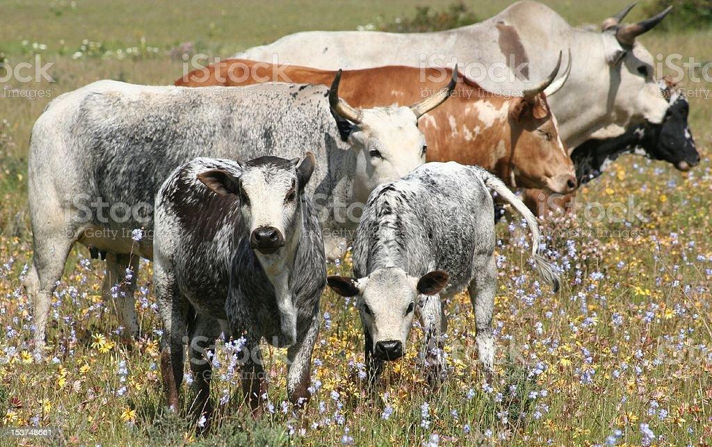 Nguni Herd royalty-free stock photo