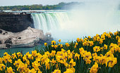 Niagara Falls with blooming yellow daffodil flowers on river bank.