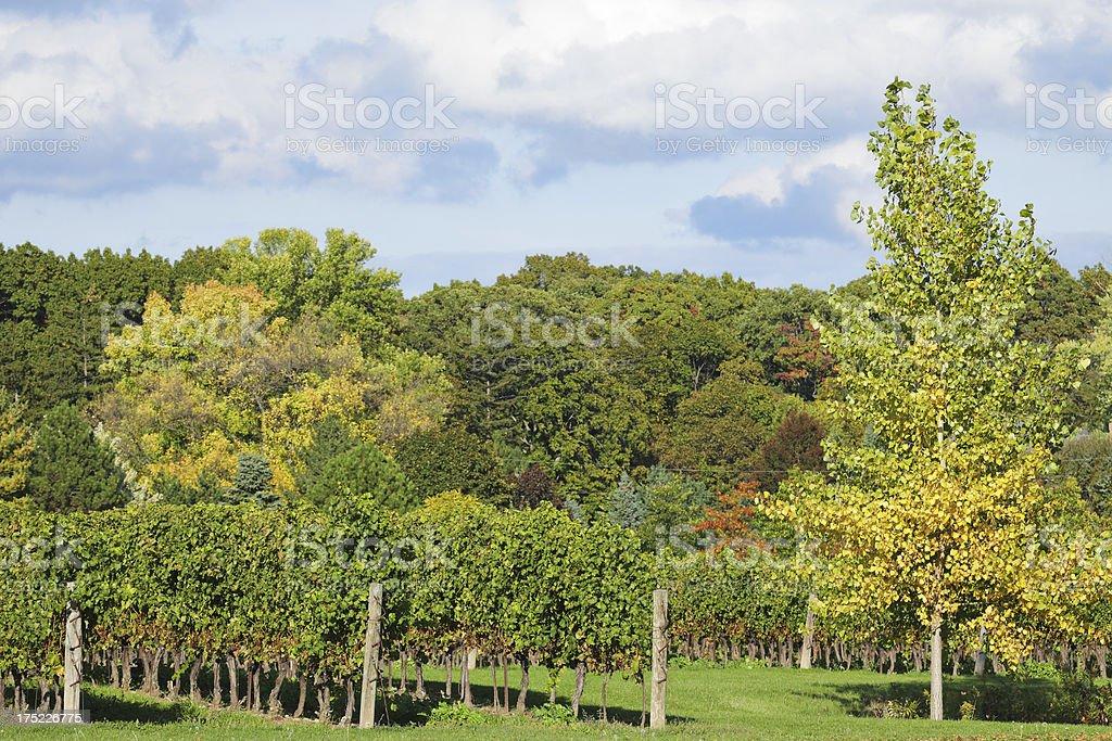 Niagara Vineyard royalty-free stock photo