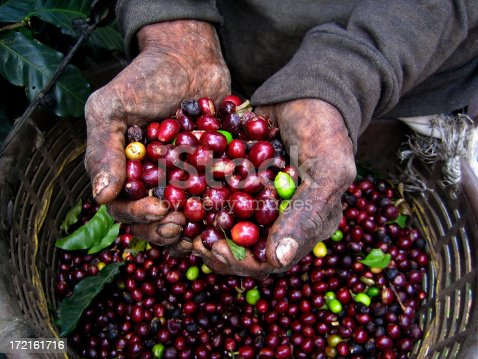 A Nicaraguan mans hands show the stress of his labour picking coffee berries in a Costa Rican coffee plantation.
