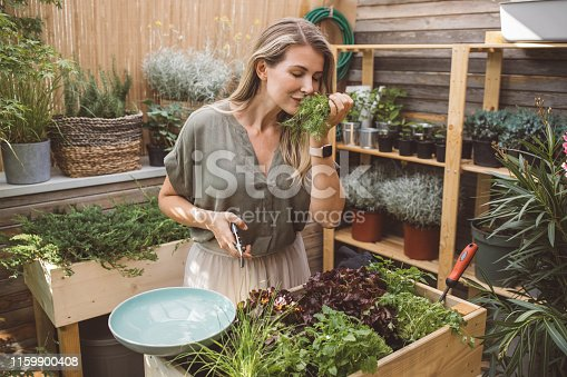 Woman harvest fresh spice vegetables at beautiful home garden. She use scissor to cut fresh veggies for fresh and healthy vegan meal
