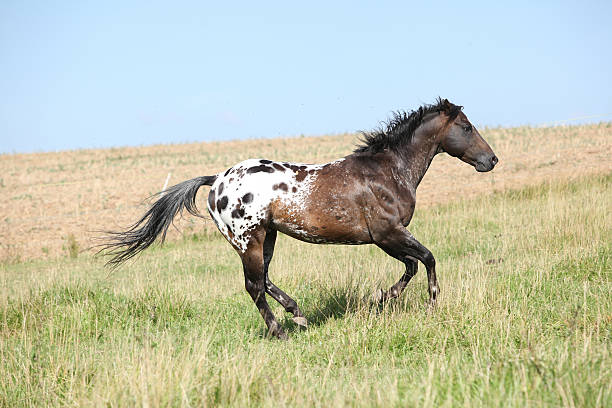Nice appaloosa stallion running Perfect appaloosa stallion running on beautiful pasturage in summer appaloosa stock pictures, royalty-free photos & images