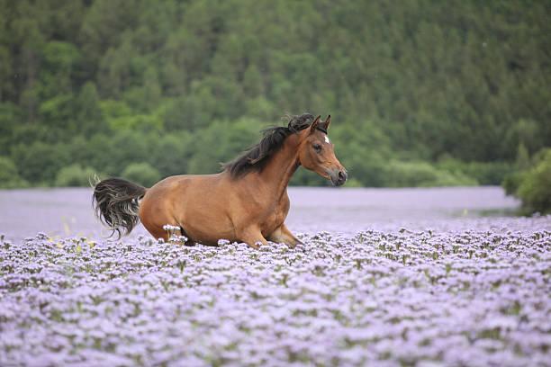 Nice arabian horse running in fiddleneck field picture id167080933?b=1&k=6&m=167080933&s=612x612&w=0&h=vyq oqgjehzbzdp6zlbjwlggmcgybp51juszufumioc=