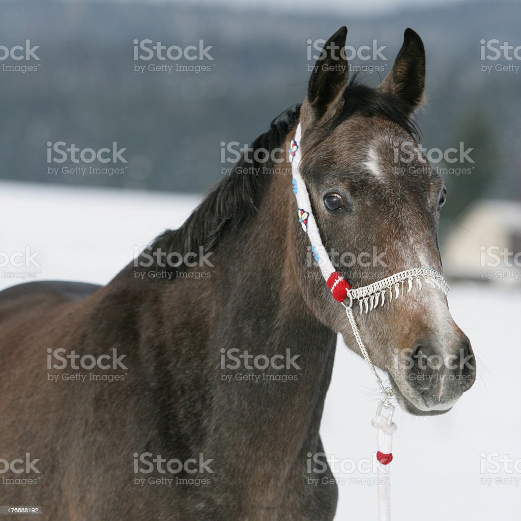 Nice Arabian Horse With Beautiful Show Halter Stock Photo Download Image Now Istock