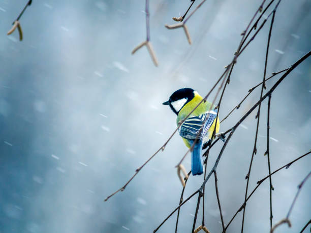 nice bird the bird sit on a branch in winter forest in the snow nice bird the bird sit on a branch in winter forest in the snow chickadee stock pictures, royalty-free photos & images