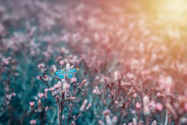 Nice blue butterfly with open wings sit on flower toned photo picture id1162312616?b=1&k=6&m=1162312616&s=612x612&w=0&h=bzhsygpw7kk j6qllu6db9fklwwzltzwhv6mqnfz5su=