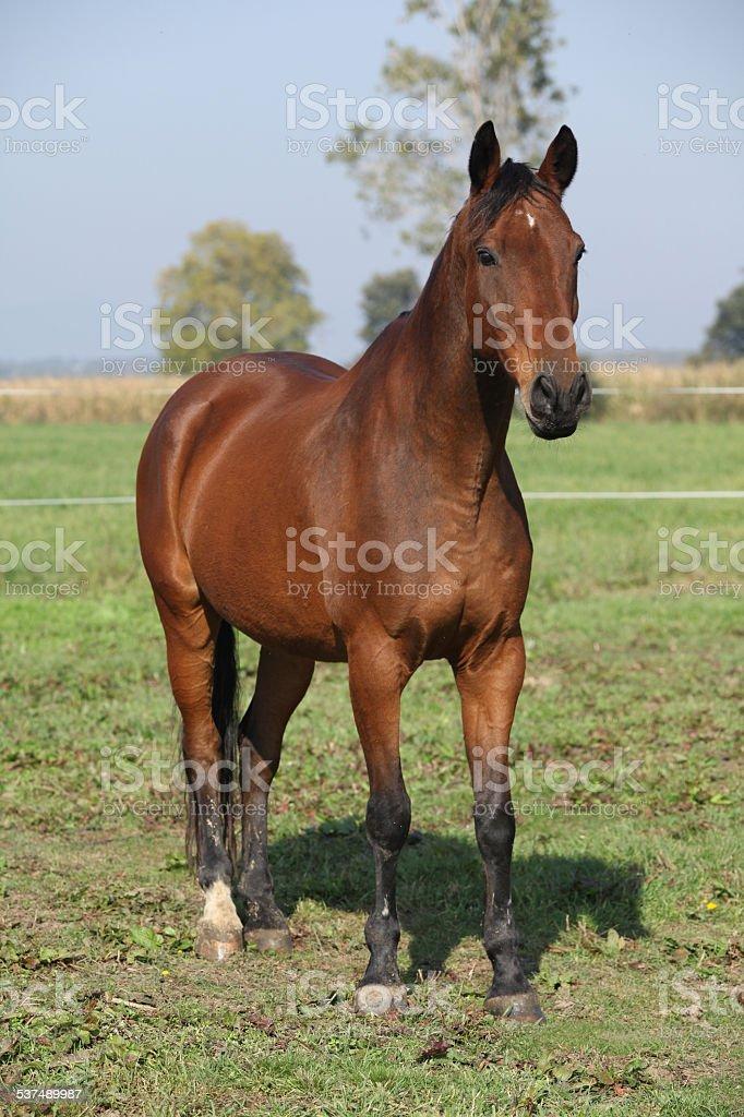 Nice brown warmblood standing in autumn stock photo