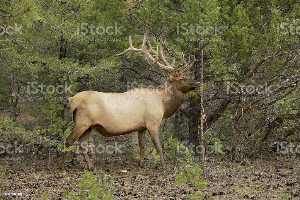 Nice Bull Elk royalty-free stock photo