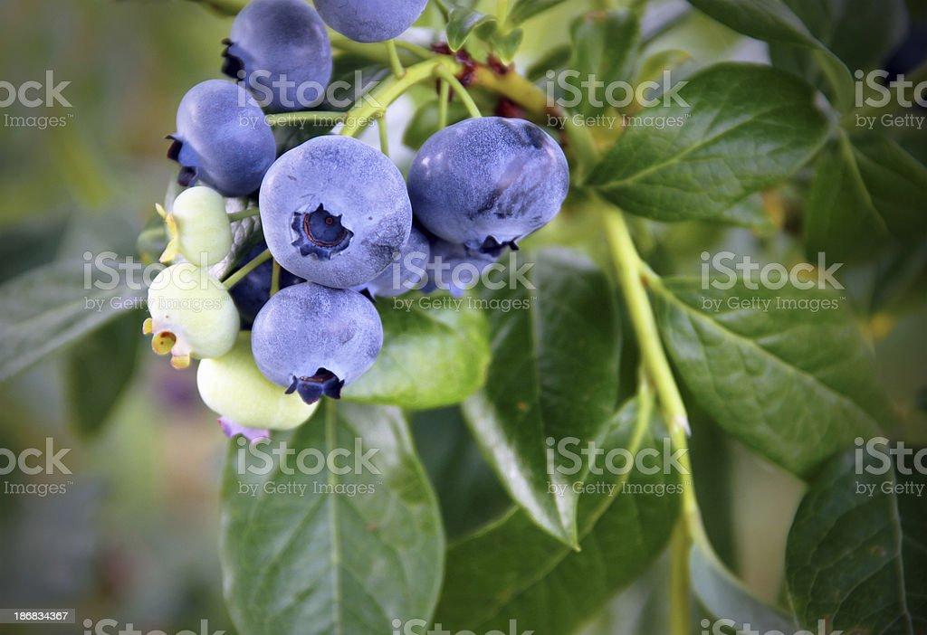 Nice Bunch of Blueberries stock photo