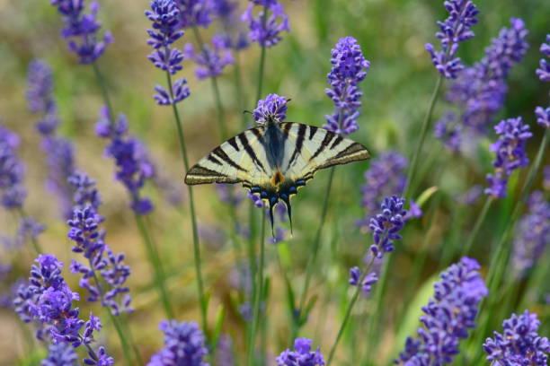 Schöne Schmetterling auf Lavendel Blume – Foto
