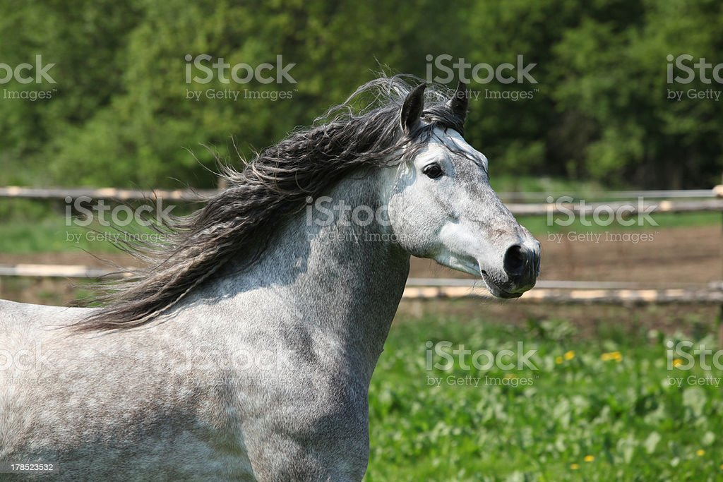 Nice carthusian stallion running stock photo