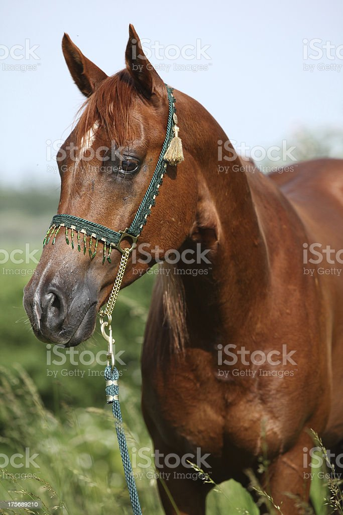 Nice chestnut arabian horse with green show halter royalty-free stock photo