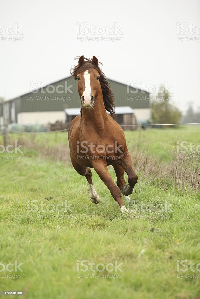 Nice chestnut welsh pony stallion running on pasturage royalty-free stock photo