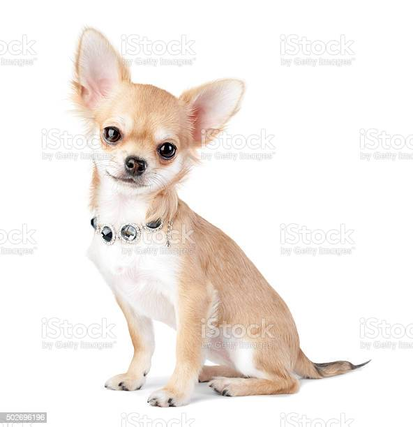 Nice chihuahua puppy with jewelry isolated on white picture id502696196?b=1&k=6&m=502696196&s=612x612&h=o6iazlmkbuth1zuh7588cz1rdcq5wgujb hrrbqq x0=