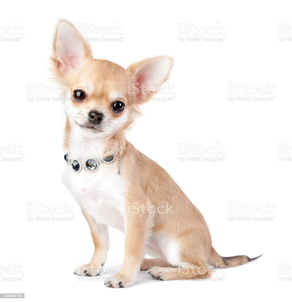 nice chihuahua puppy with jewelry  isolated on white stock photo