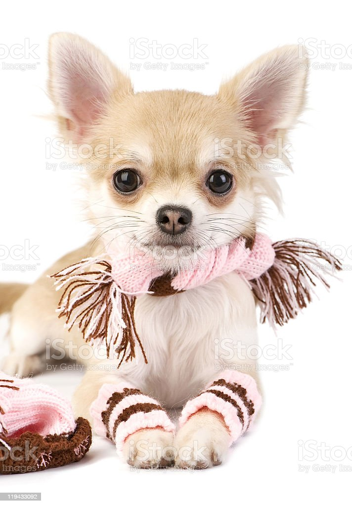 nice chihuahua puppy with knitted set royalty-free stock photo