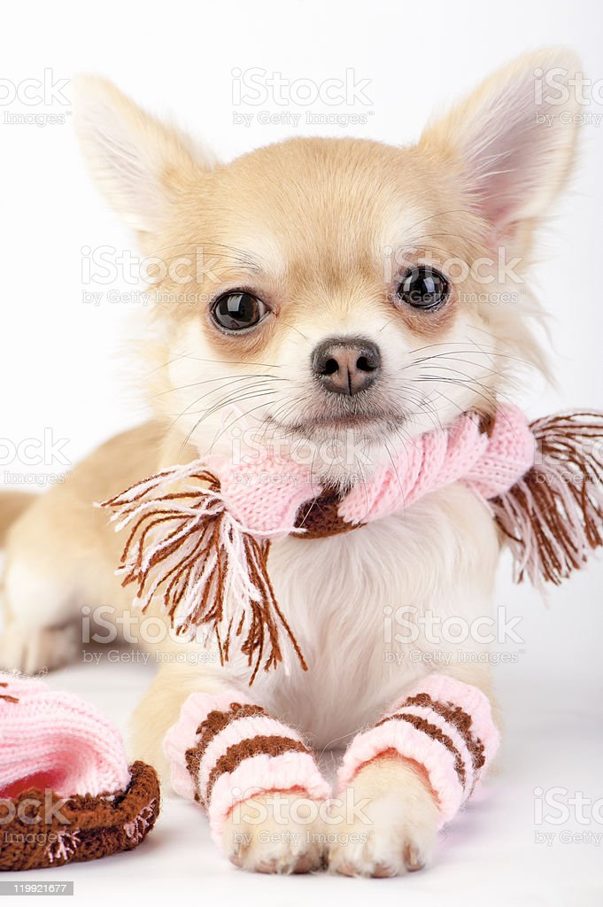 nice chihuahua puppy with knitted winter kit close-up royalty-free stock photo