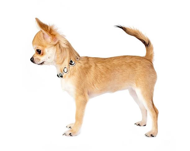 nice chihuahua chiot portant un collier - chihuahua chien de race photos et images de collection