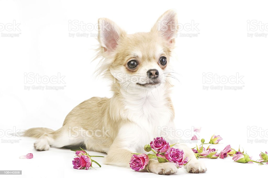 nice chihuahua puppy with roses royalty-free stock photo