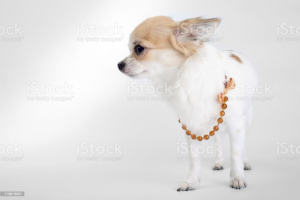 nice Chihuahua with beads and bow close-up stock photo