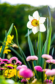nice daffodil flower - photo - closeup