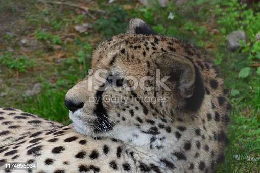 nice female laying chetah portrait