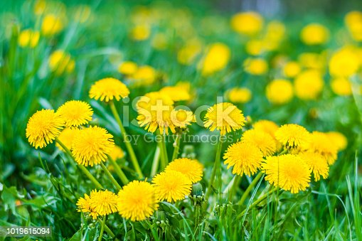 Nice field with fresh yellow dandelions and green grass. Small depth of field. Beautiful spring day.