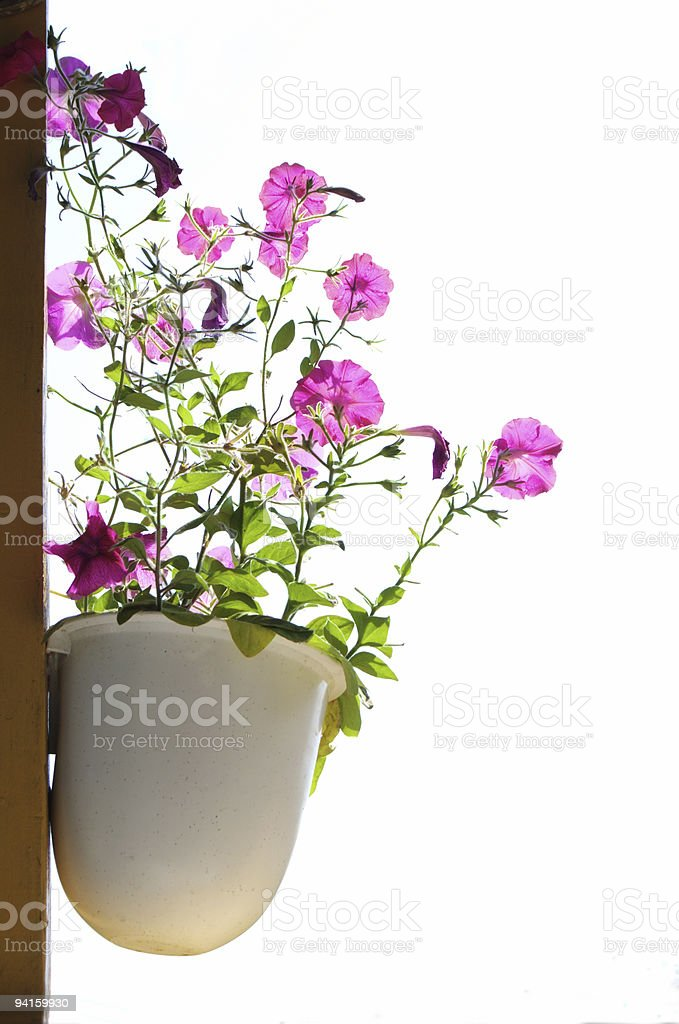 nice flower in pot royalty-free stock photo