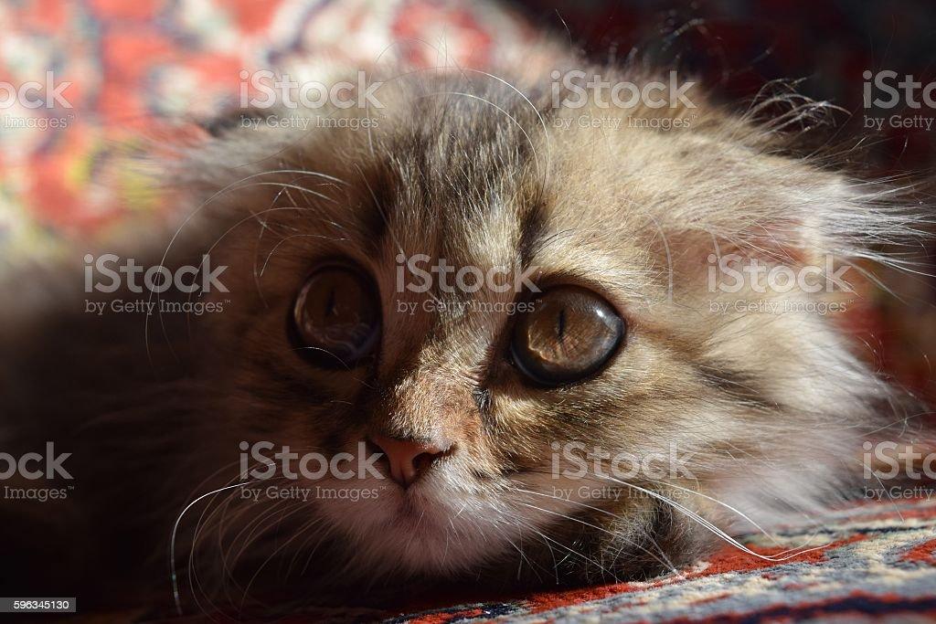 nice fluffy kitten royalty-free stock photo