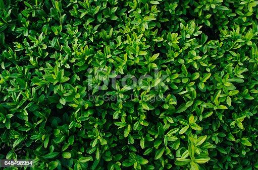 Nice fresh green bush leaves closeup texture background
