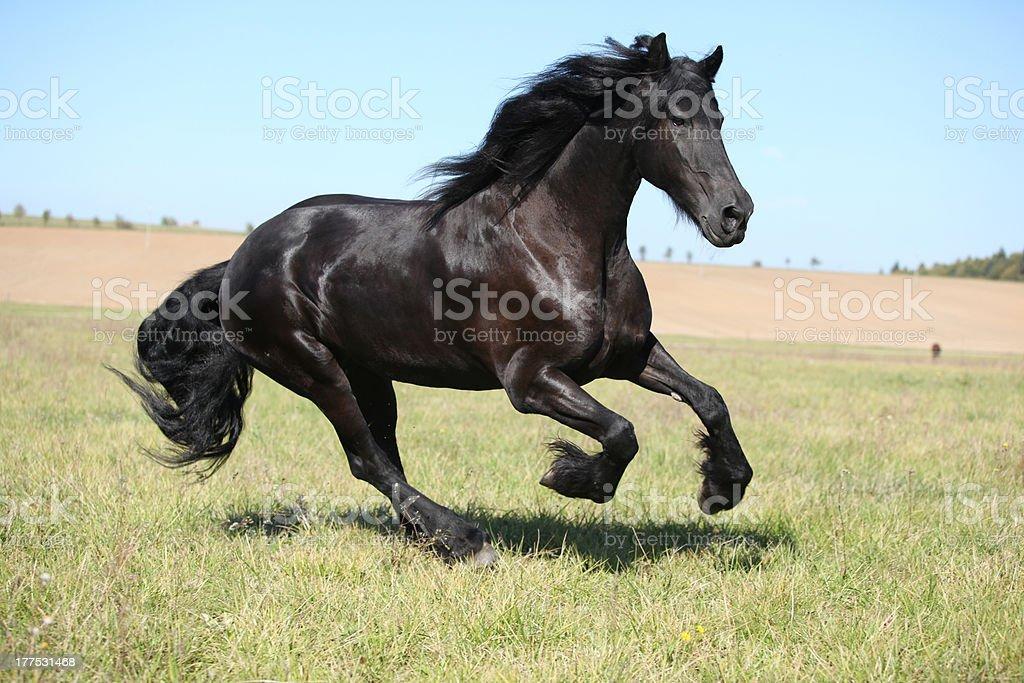 Nice friesian mare stock photo