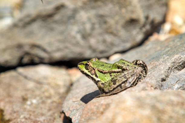 nice green frog on the stone stock photo