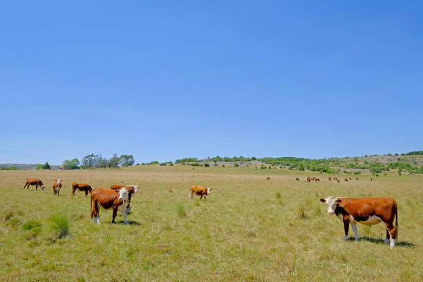Nice herd of free range cows cattle on pasture, Uruguay stock photo