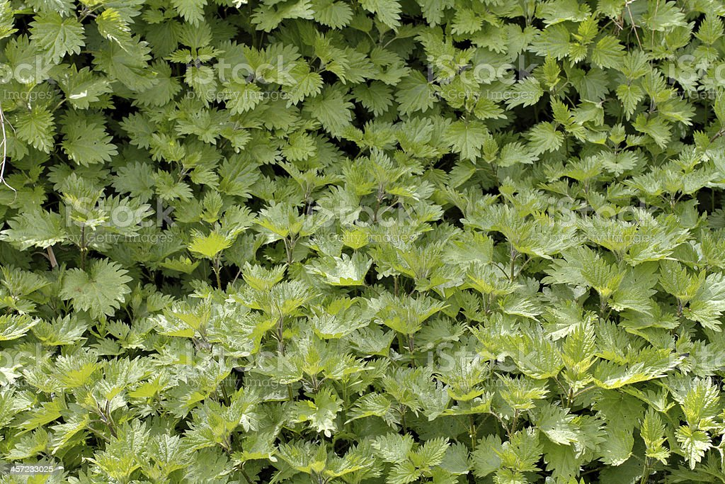 Green background bed of stinging nettles Urtica dioica royalty-free stock photo