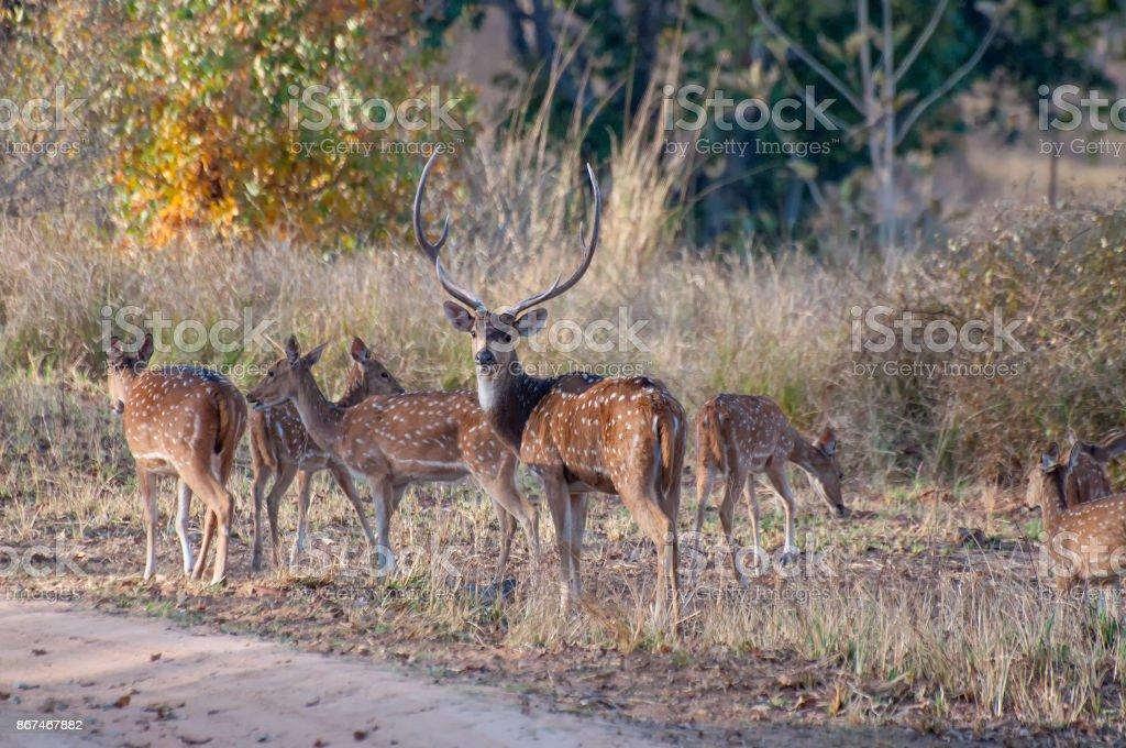 Schönes Bild der indischen Hirsche in Panna National Park. – Foto