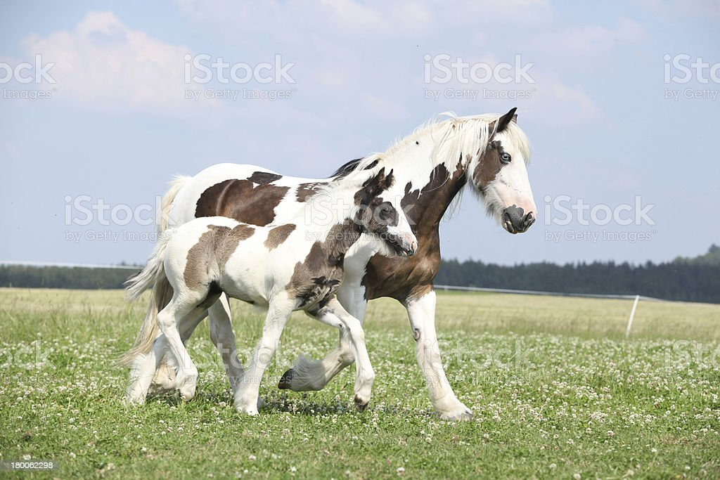 Nice irish cob mare with foal on pasturage stock photo
