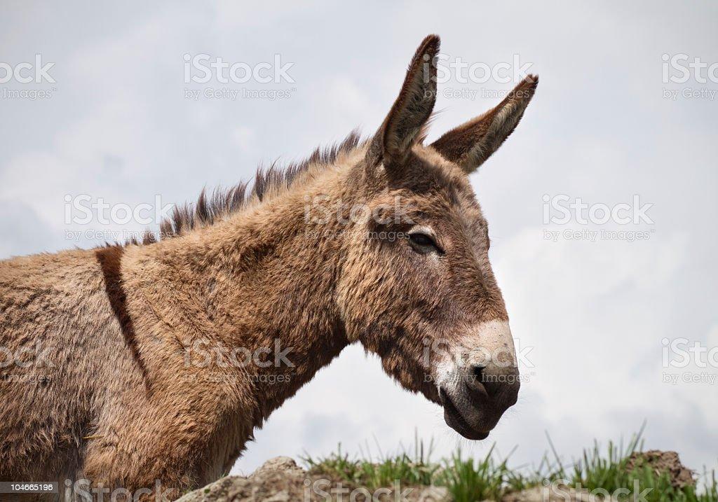 Nice italian donkey royalty-free stock photo