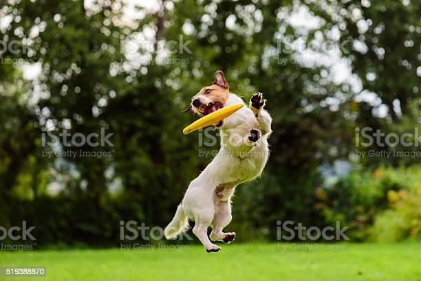 Nice jump by jack russell terrier dog catching flying disk picture id519388870?b=1&k=6&m=519388870&s=612x612&h=ijmsagikyia5ilid8 kbkgk mu0boy yftjce13c7vy=