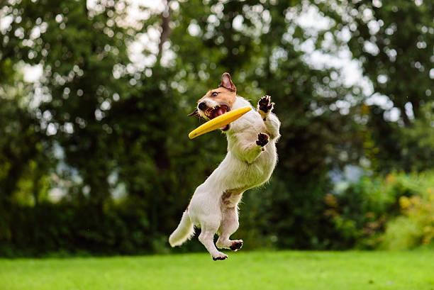 beau saut par jack russell terrier chien regardant disque volant - dressage photos et images de collection