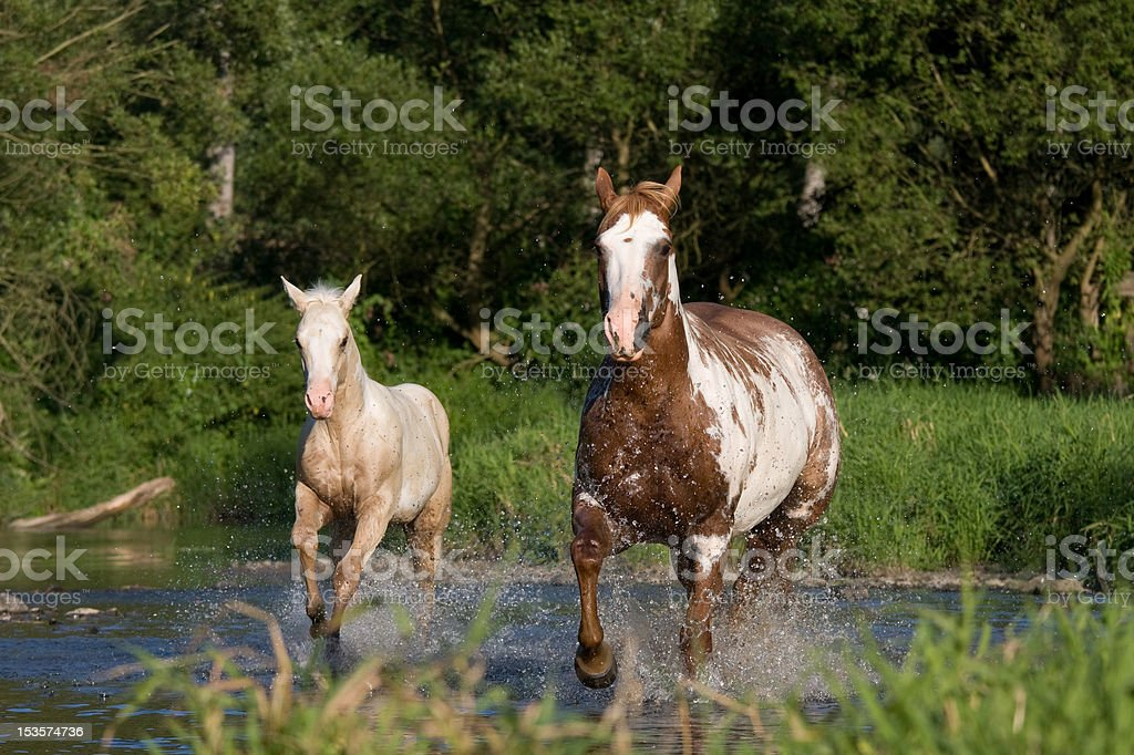 Nice mare with foal running stock photo