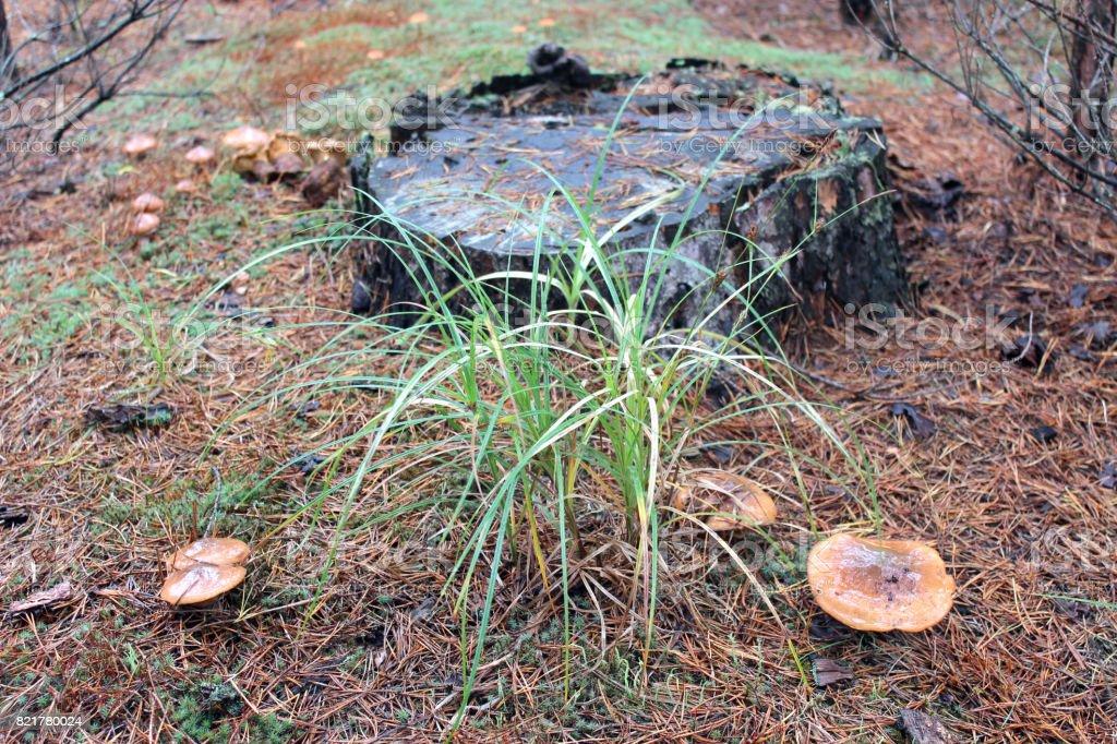 nice mushrooms of Suillus stock photo