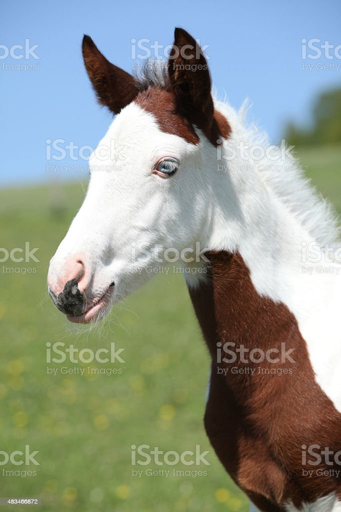 Nice paint horse foal on pasturage stock photo