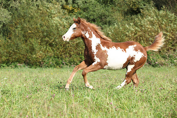 Nice paint horse foal running in autumn Nice paint horse foal running in freedom paint horse stock pictures, royalty-free photos & images