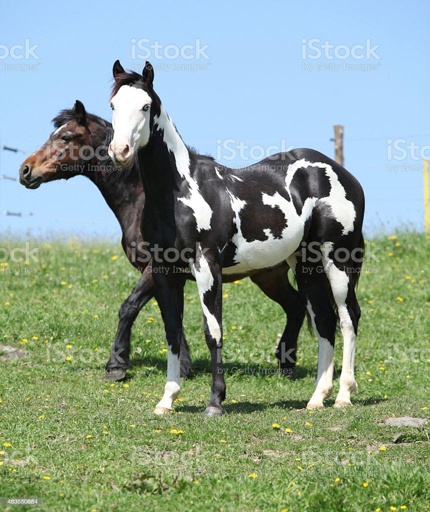 Nice paint horses on pasturage stock photo