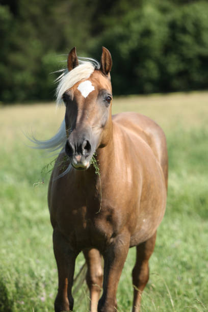 Nice palomino on pasturage Nice horse with blond hair looking at you on pasturage palomino stock pictures, royalty-free photos & images