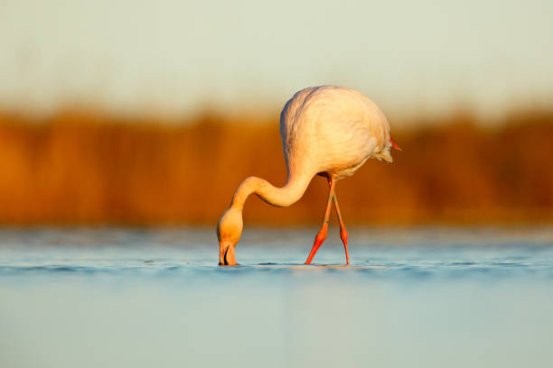 Nice pink big bird Greater Flamingo, Phoenicopterus ruber, in the water, with evening sun, Camargue, France. Wildlife scene in nature. stock photo