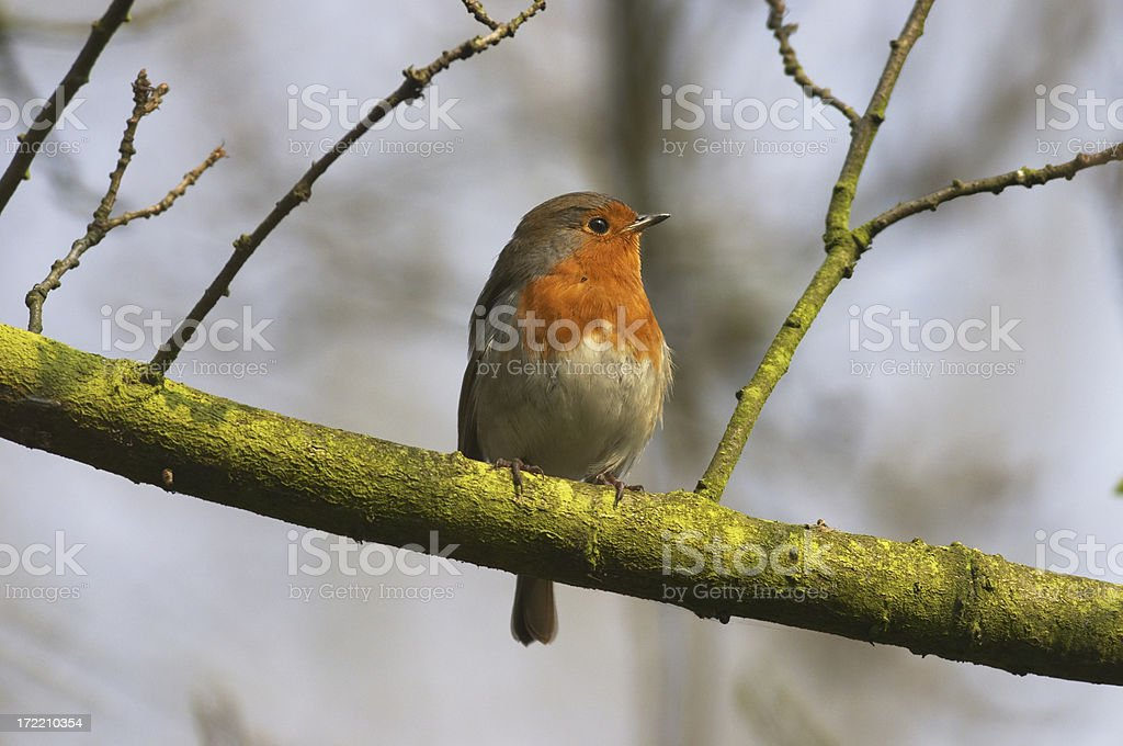 European robin sitting on a green branch royalty-free stock photo
