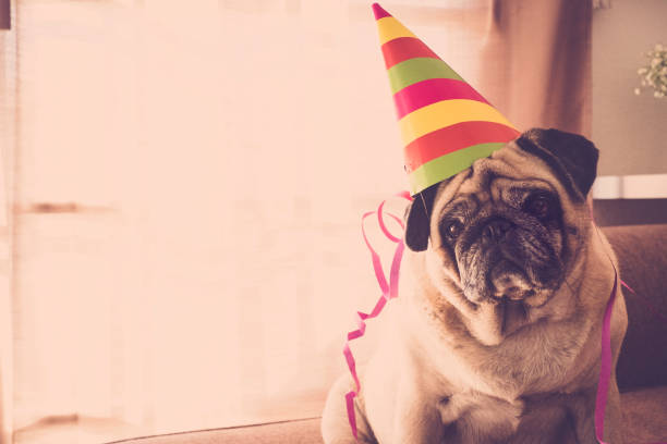 nice pug with sad eyes in party party and celebration time at home for a beautiful pug with nice hat. new year eve concept indoor. affective stock pictures, royalty-free photos & images
