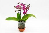 Nice purple mini phalaenopsis moth orchids isolated