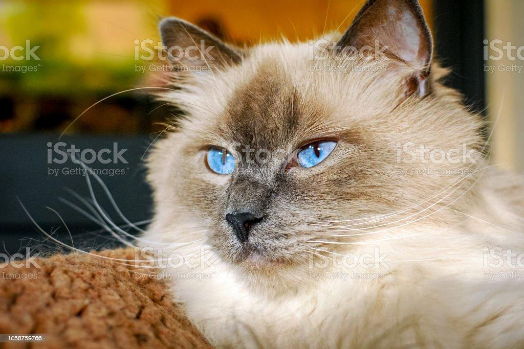 Belo gato Ragdoll com lindos olhos azuis - foto de acervo